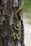 Rough Green Snake Royalty Free Stock Photography