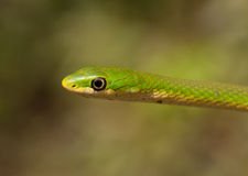 Rough Green Snake Stock Images