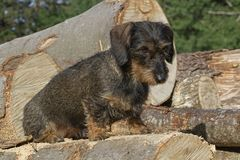 Rough hair dogs on tree trunks. Small brown Dachshund sits on a woodblock in the forest stock photography