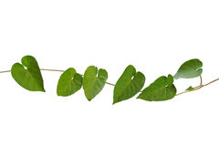Rough and hairy heart-shaped green leaves wild vine isolated on. White background, clipping path included Stock Images