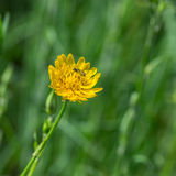 Rough hawksbeard (Crepis biennis) flower with small insect gathering nectar on Stock Photography