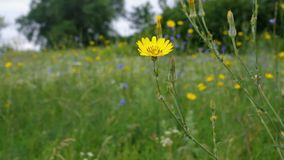 Rough hawksbeard (Crepis biennis) flower in a wild field stock video