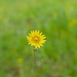 Rough hawksbeard flower in a wild field Stock Images