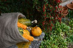 Rough hessian sack of warty gourds on stone bench. Rough hessian sack of warty ornamental gourds on a stone bench in an autumnal garden royalty free stock photos