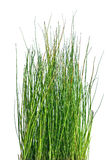 Rough horsetail on white Royalty Free Stock Images