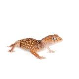 Rough Knob-tailed Gecko  isolated on white Stock Photo