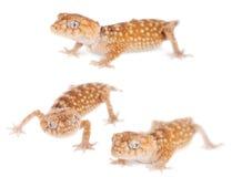 Rough Knob-tailed Gecko  isolated on white Stock Photos