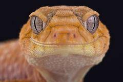 Rough knob-tailed gecko (Nephrurus amyae) Stock Photography