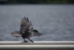Rough Landing. A sparrow landing on a rail Royalty Free Stock Photos