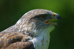 Rough legged buzzard Stock Photo
