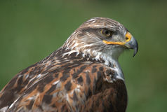 Rough legged buzzard Royalty Free Stock Photo