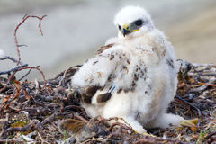 Rough-legged Buzzard (Buteo lagopus) chick in nest and lemming as prey. Novaya Zemlya, Arctic Royalty Free Stock Images
