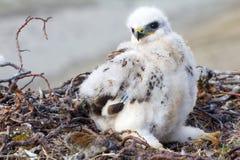 Rough-legged Buzzard (Buteo lagopus) chick in nest and lemming as prey. Novaya Zemlya, Arctic Royalty Free Stock Images
