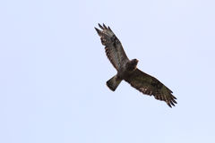 Rough-legged buzzard (Buteo lagopus) in-flight from below Stock Photo