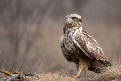 Free Rough-legged Buzzard, Buteo Lagopus, Stands On The Ground Royalty Free Stock Image - 139049656