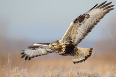 Rough-legged buzzard. Buteo lagopus. Winter Royalty Free Stock Photos