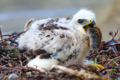 The rough-legged Buzzard chick gulps lemming. Arctic desert of Novaya Zemlya archipelago Royalty Free Stock Photography