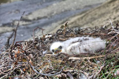 Rough-legged Buzzard chick in nest. background is river canyon in polar desert. Stock Photo