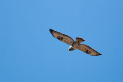 Rough-legged buzzard. Flying and searching for prey Stock Photography