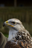 Rough Legged Buzzard Royalty Free Stock Photos