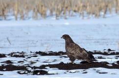 Rough legged buzzard Royalty Free Stock Images