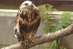 Rough-legged buzzard Stock Images