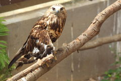 Rough-legged buzzard Royalty Free Stock Images