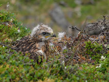 Rough legged buzzard (buteo lagopus) fledging chick in the nest Stock Image
