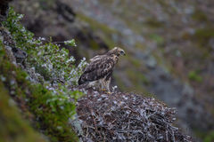Rough legged buzzard (buteo lagopus) fledging chick in the nest Royalty Free Stock Photo