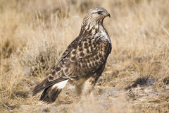 Rough-legged Hawk Royalty Free Stock Photos