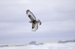 Rough Legged Hawk Royalty Free Stock Images