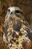Rough-legged Hawk (3) Stock Photos
