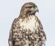 Rough-legged hawk Stock Photography