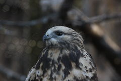 Rough-legged hawk (Buteo lagopus) Stock Images