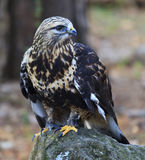 Rough-Legged Hawk Royalty Free Stock Photo