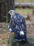 Rough-Legged Hawk Stock Images