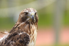 red-tailed hawk in side angle view Stock Photos