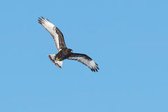 Rough-legged Hawk Stock Image