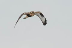 Rough-legged Hawk Stock Photography