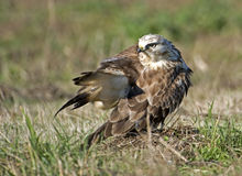 Rough legged hawk grooming Royalty Free Stock Photos