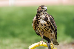 Coopers Hawk  perched Royalty Free Stock Images