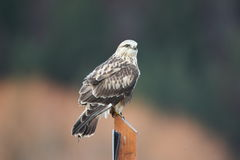 Rough Legged Hawk. A Rought Legged Hawk on a perch with a blurred background Royalty Free Stock Image