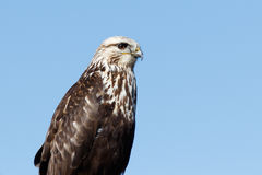Rough-legged Hawk sitting on a sign Royalty Free Stock Image