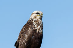 Rough-legged Hawk sitting on a sign Stock Photos