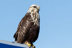 Rough-legged Hawk sitting on a sign Royalty Free Stock Photography