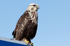 Rough-legged Hawk sitting on a sign Stock Image