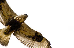 Rough-Legged Hawk on White Background Stock Photography