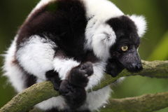 Rough Lemur. Portrait with head being the focus Royalty Free Stock Photos