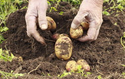 Rough male hands working, closeup, farmland Stock Photography