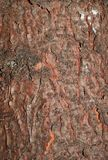 A rough pattern of the old bark of a coniferous tree royalty free stock photos